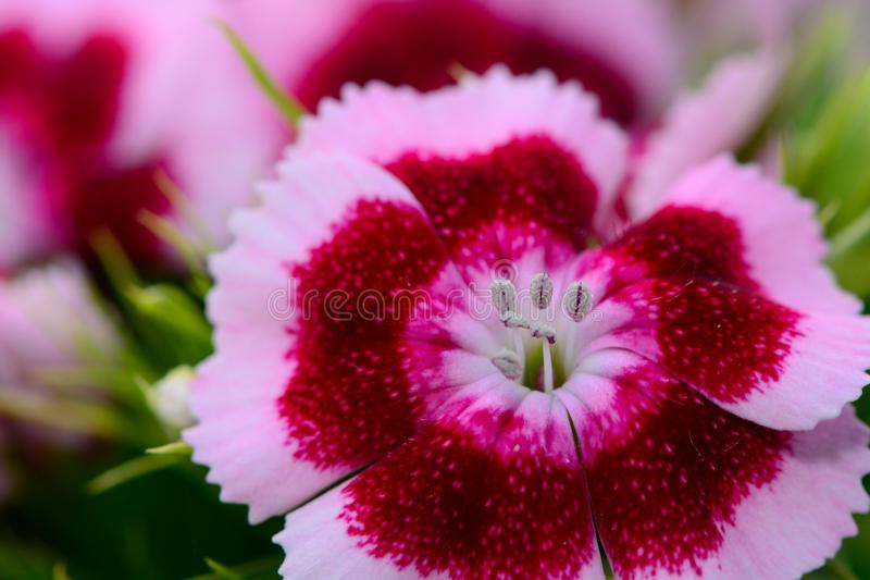 Pink and white Dianthus flower. With a pink background royalty free stock photos