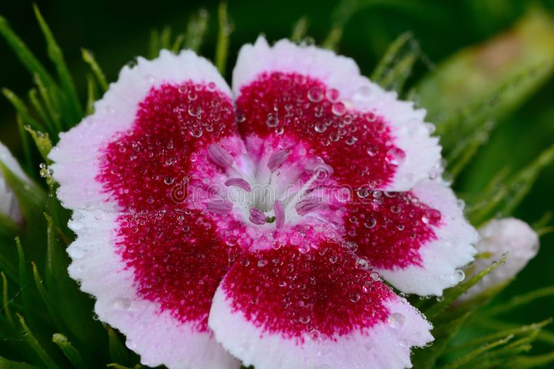 Pink and white Dianthus flower. With water droplets royalty free stock images