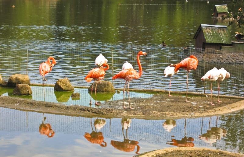 Pink and white flamingo