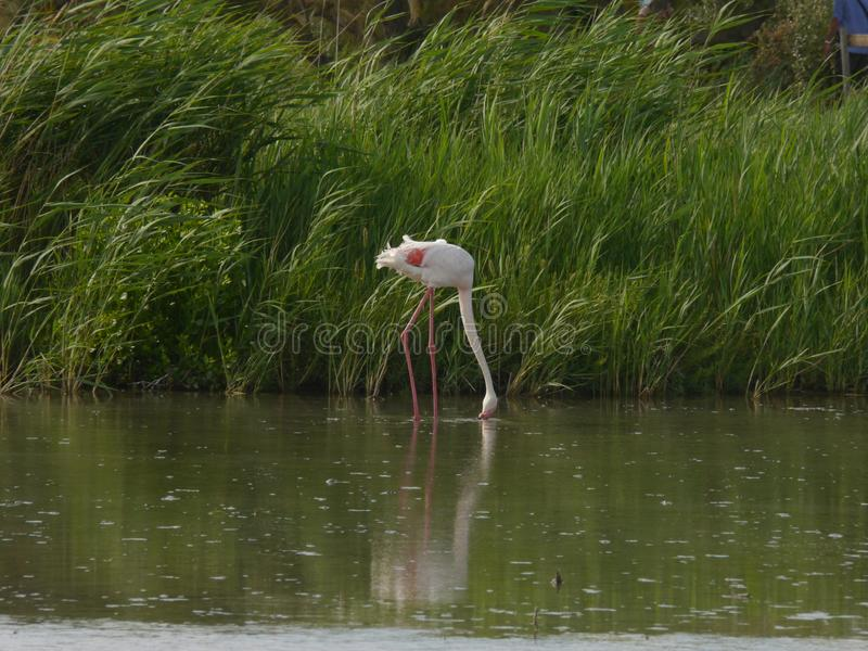 A pink white flamingo foraging in the shallow water, in the background a bank. Densely vegetated with plants royalty free stock photos