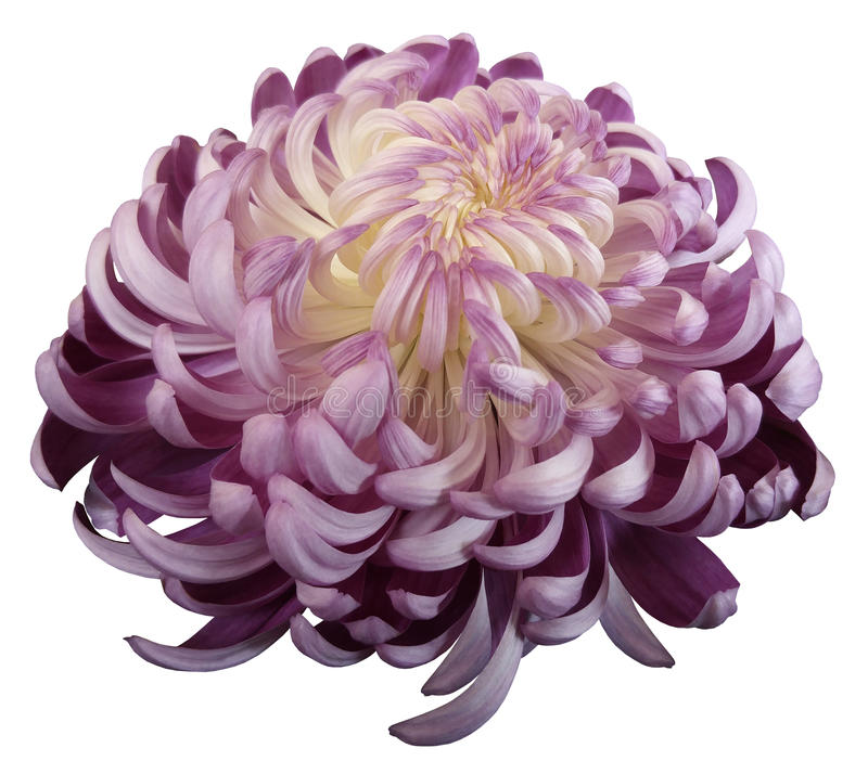 Flower Pink-white chrysanthemum. Side view. Motley garden flower. white isolated background with clipping path no shadows. Cl. Pink-white flower chrysanthemum royalty free stock photo