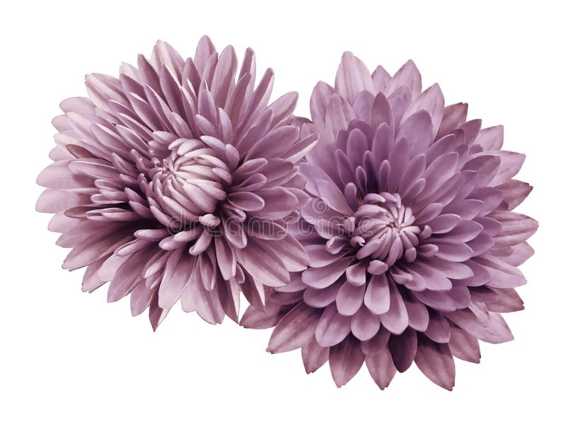 Pink-white flower chrysanthemums; on a white isolated background with clipping path. Closeup. no shadows. For design. royalty free stock images