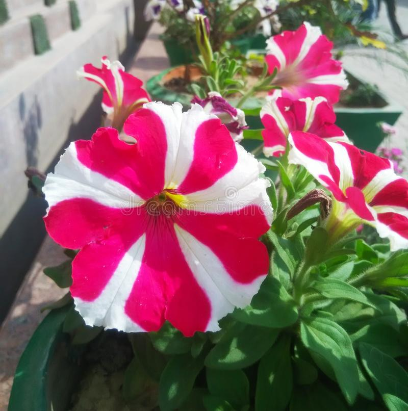 Pink and white flower. Pink and white shaded flower, seasonal royalty free stock photo