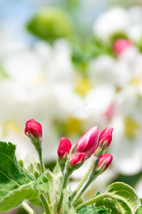 Pink and white flowers of apple tree. Image for design postcard, calendar. Soft selective focus royalty free stock image