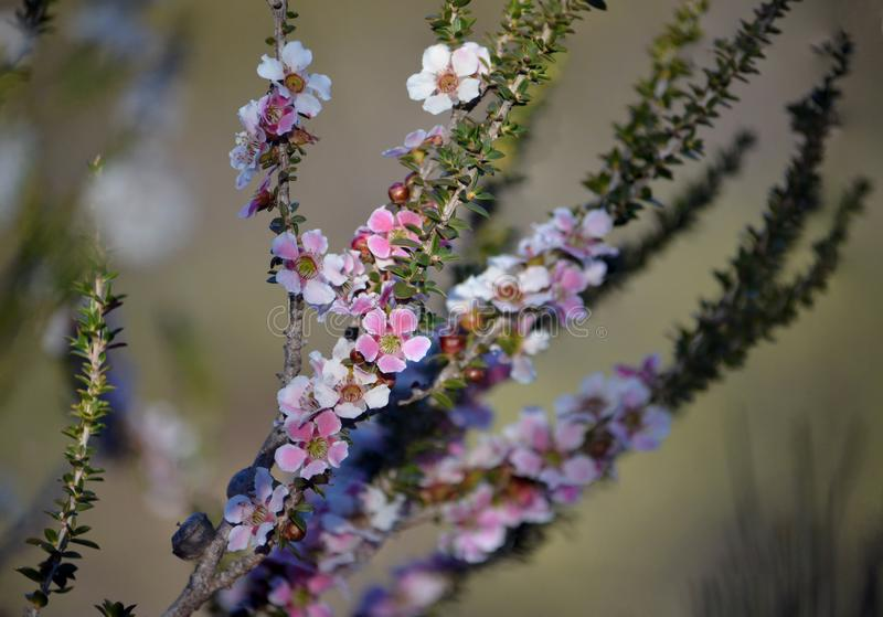 Peach blossom Tea Tree flowers, Leptospermum squarrosum royalty free stock images