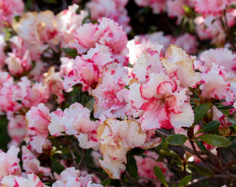 Pink and white flowers in garden. in summer stock photos