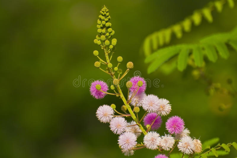 Pink and White Flowers of Mimosa stock photos