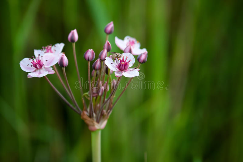 Pink and white flowers river macro. White-pink flowers and fly on the petal at the river whith green gros background royalty free stock image
