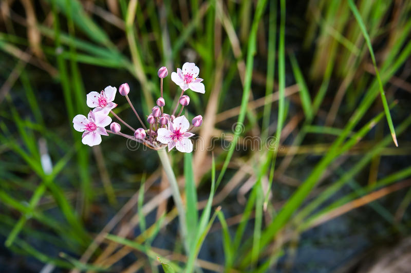 Pink and white flowers river. White-pink flowers at the river whith green gros background royalty free stock photo
