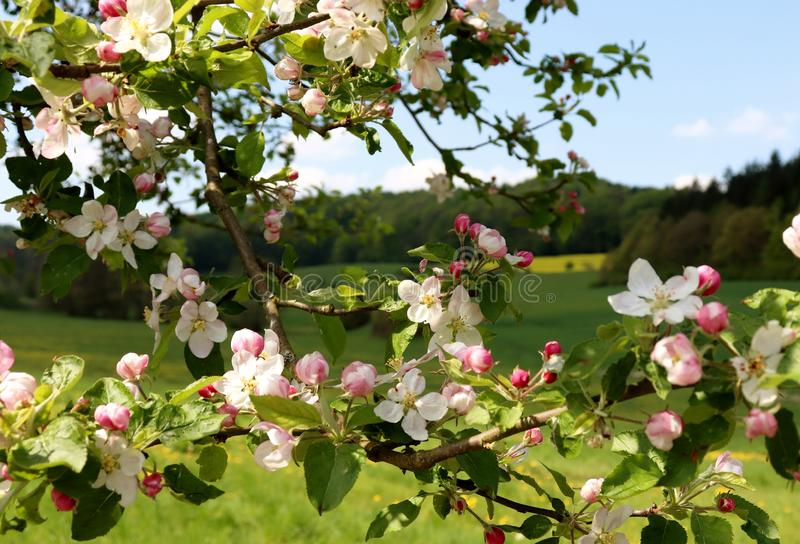 Pink and white flowers on a tree in front of a meadow and forest. Springtime in Germany stock photo