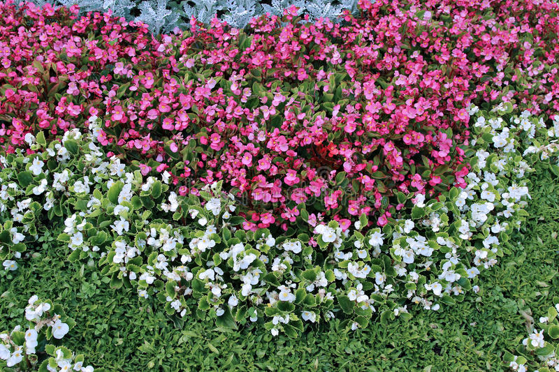 Pink and white flowers tuberous begonias on the flowerbed stock download pink and white flowers tuberous begonias on the flowerbed stock photo image of floral mightylinksfo