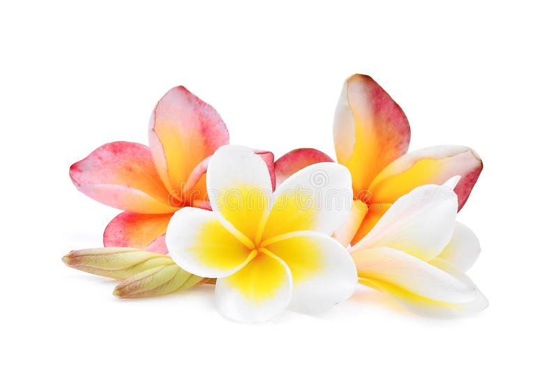Pink and white frangipani or plumeria tropical flowers isolate royalty free stock images