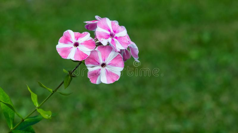 Pink and white garden Annual phox or Phlox drummondii flowers close-up with bokeh, selective focus, shallow DOF. Pink and white garden Annual phox or Phlox stock photos