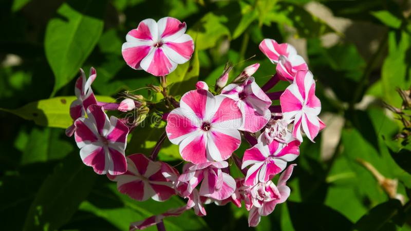 Pink and white garden Annual phox or Phlox drummondii flowers at flowerbed close-up, selective focus, shallow DOF.  royalty free stock photos