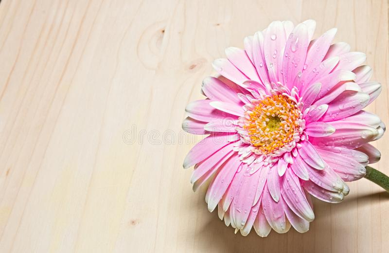 Pink and white gerbera flower close up on wood background stock photo