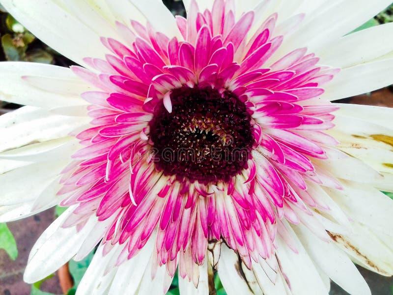Gerbera bloom closeup of a flower stock photos
