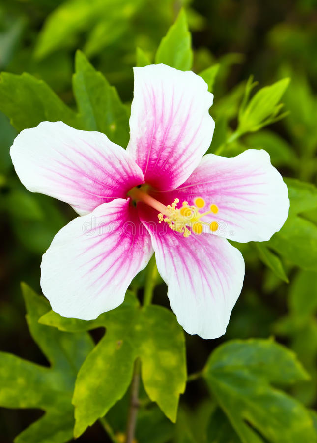 Pink And White Hibiscus Flower Stock Image - Image of ...