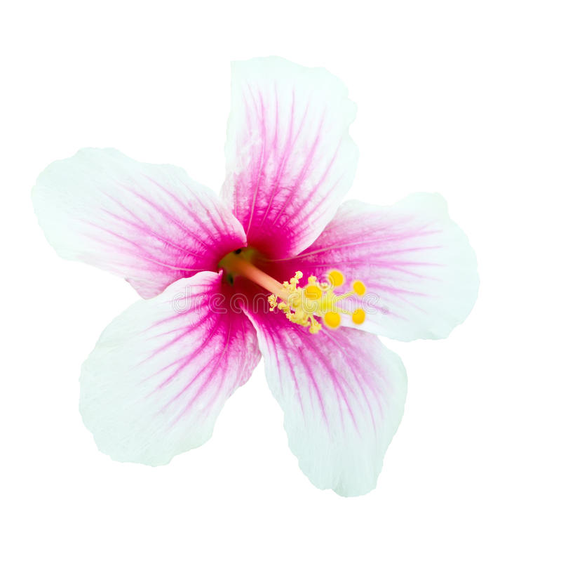 Pink And White Hibiscus Flower Isolated Stock Image ...