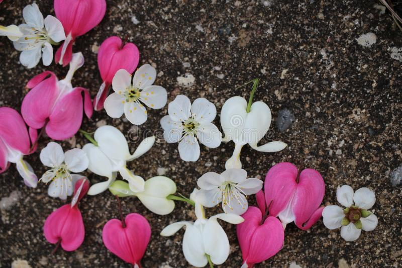Pink and white bleeding heart flowers with cherry blossoms scattered on pavement. royalty free stock images