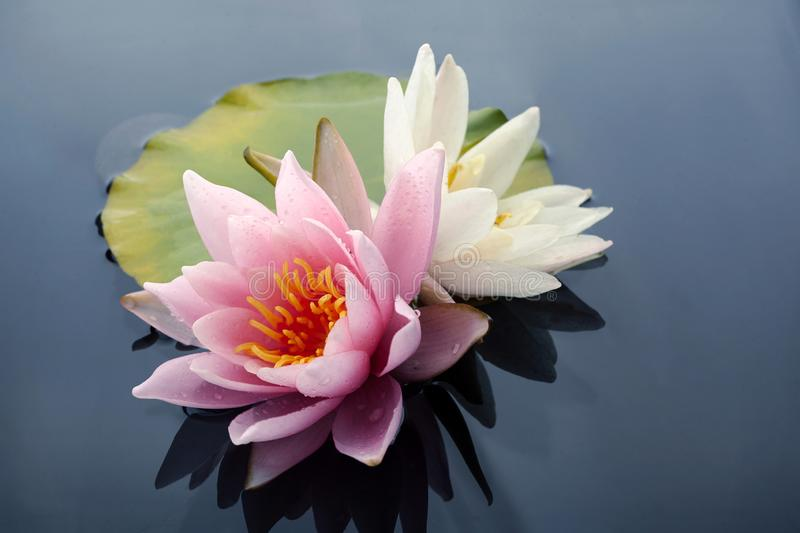 Pink and white lotus blossoms or water lily flowers blooming on pond royalty free stock photo