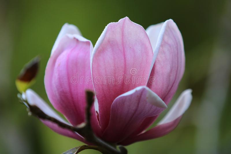 Pink white Magnolia flower on nature background in garden,Close up Magnolia flower with branch and leaf on blurry background.  stock images