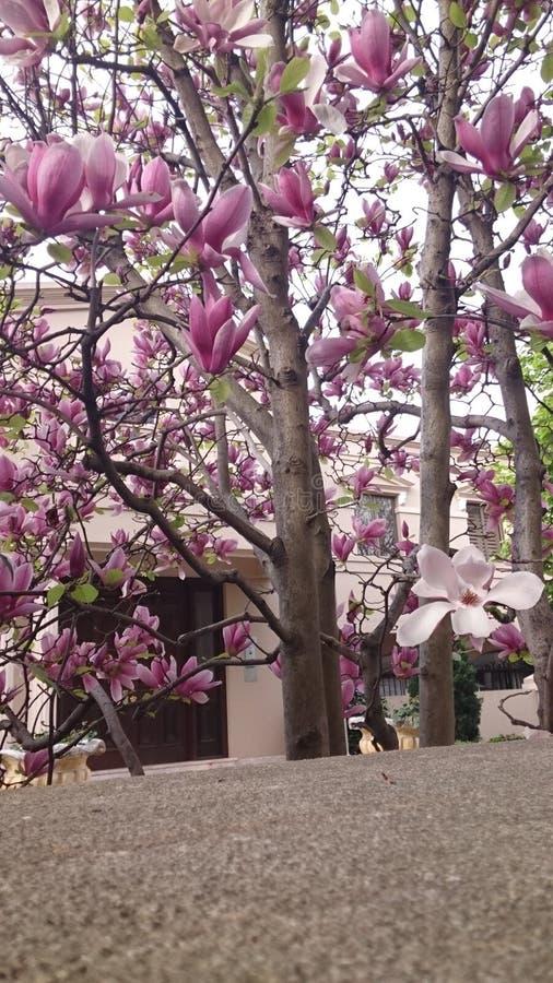 Pink white magnolias stock image