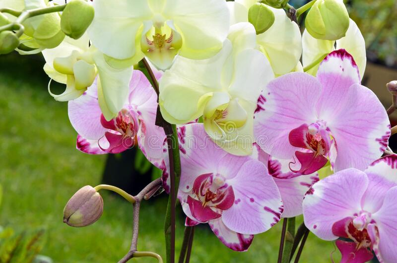 Pink and white moth orchids royalty free stock image