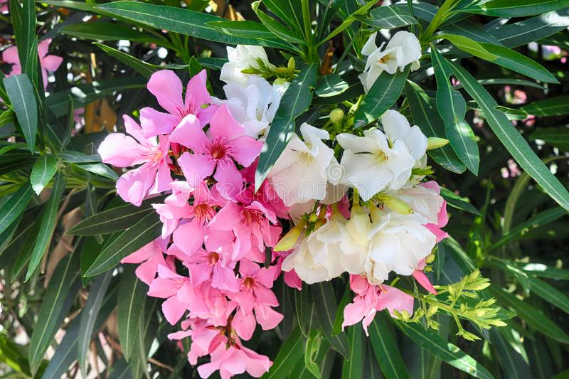 Pink and white oleander or Nerium flower stock images