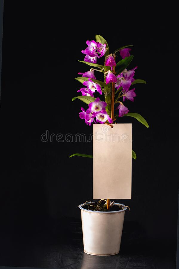 Pink and white orchid on black background. Orchid flower. Dendrobium, macro orchids royalty free stock images