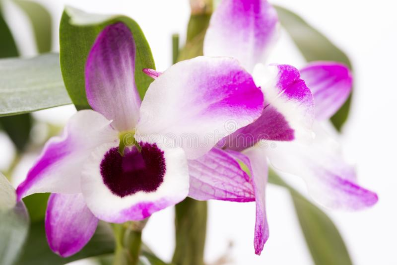 Pink white orchid flower royalty free stock images