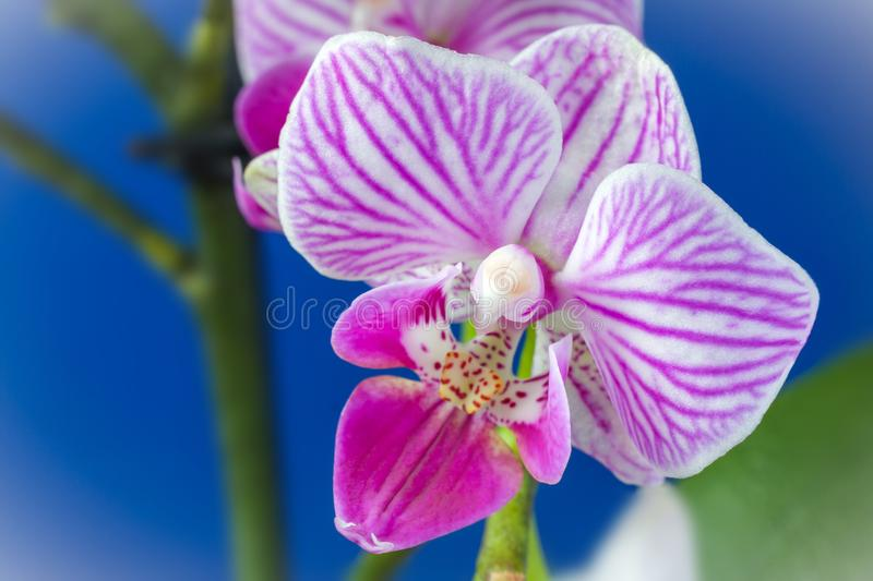 Pink white orchid flower Phalaenopsis royalty free stock photos