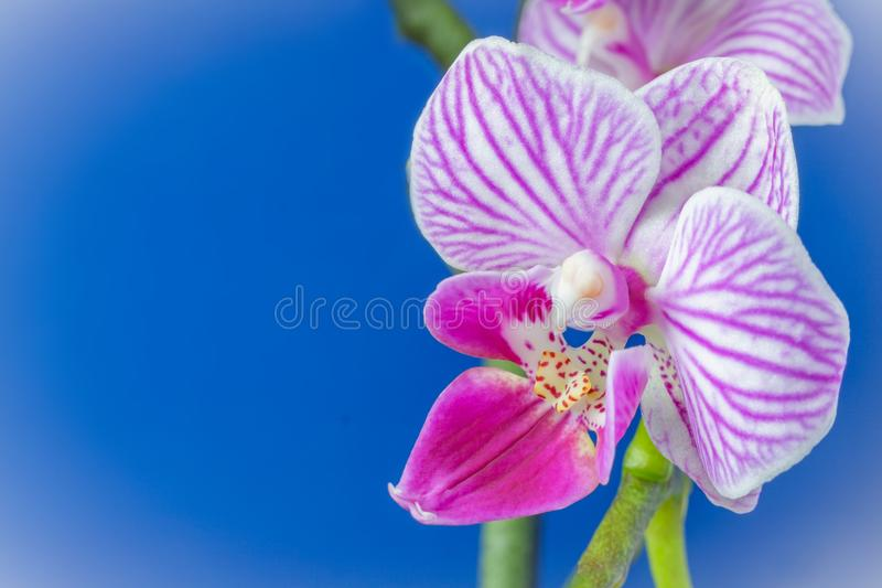 Pink white orchid flower Phalaenopsis stock images