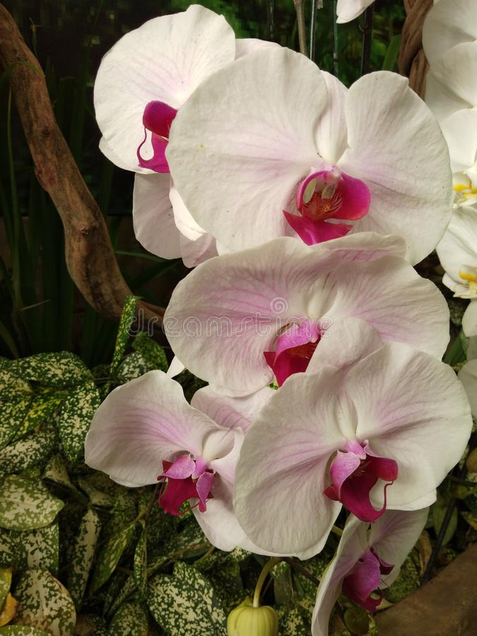 pink and white orchid in the garden stock image