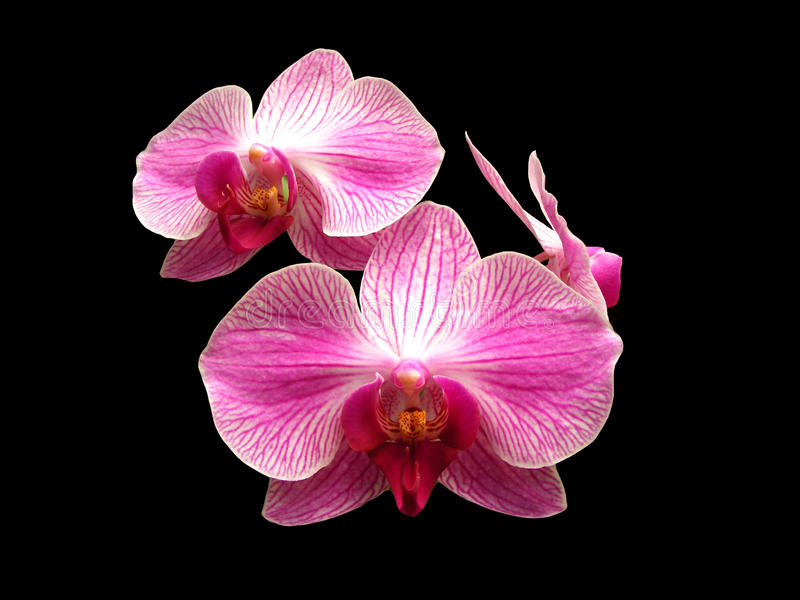 Pink and White Orchids. Three pink and white tropical orchids on a black background royalty free stock images