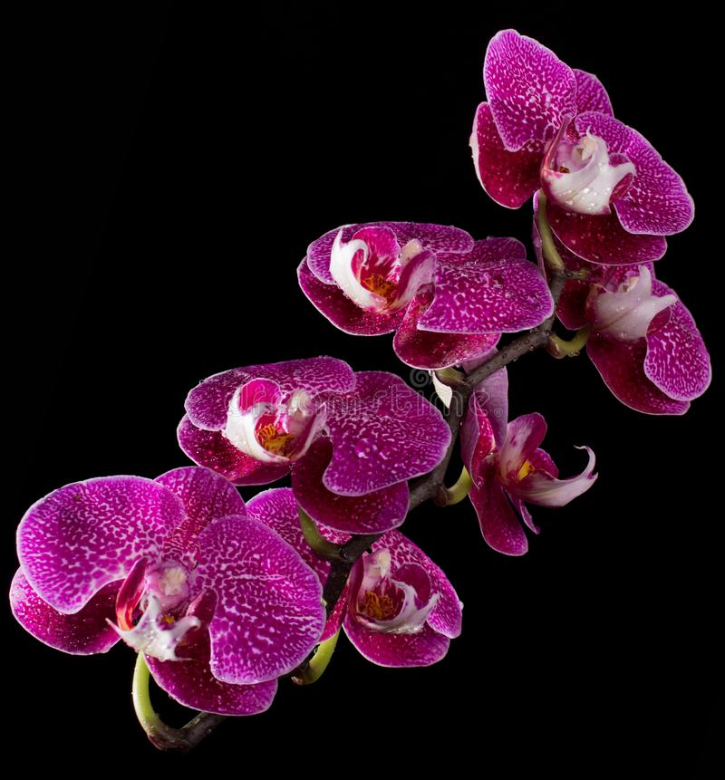 Pink & White Orchids On Black Background stock photo