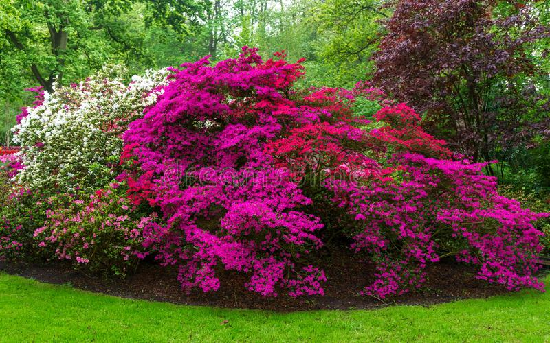 Pink, white and red blooming bushes of Azalea japonica, Rhododendron as nature background in spring garden, park stock image