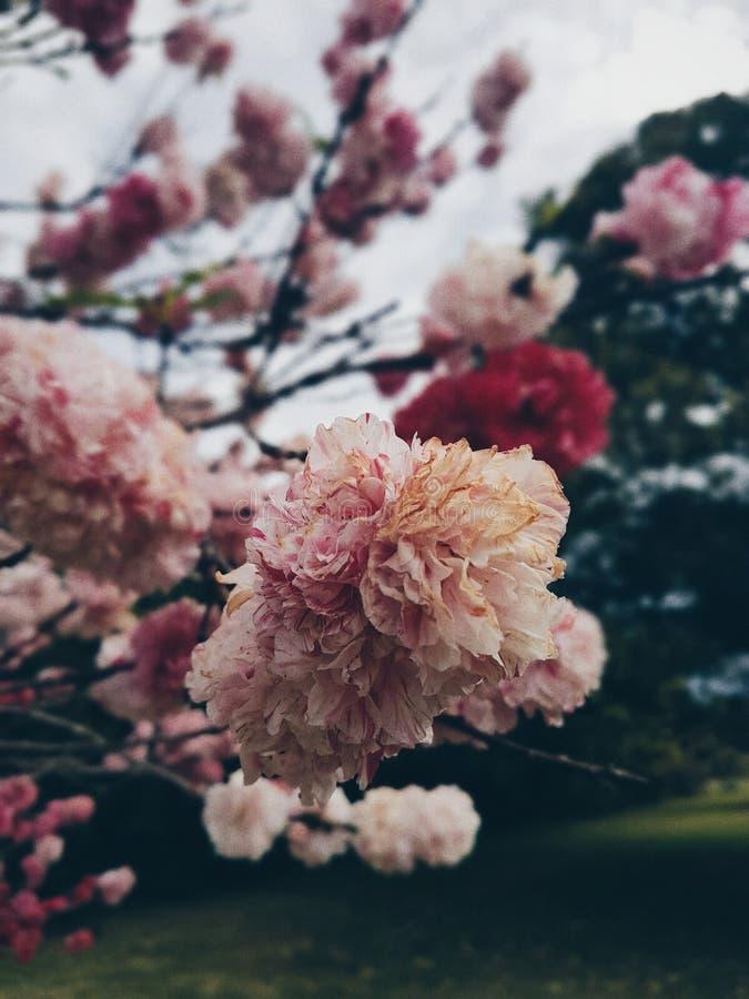 Pink White Red Petal Flower Free Public Domain Cc0 Image