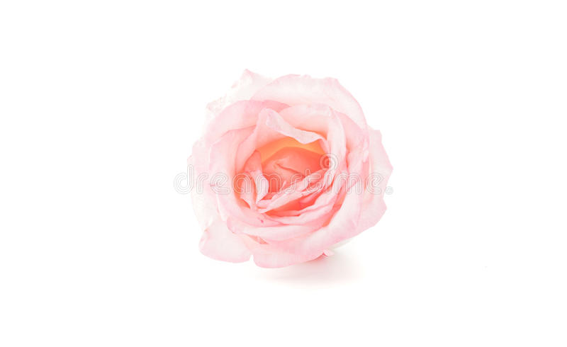 Pink and white rose. On white background royalty free stock image