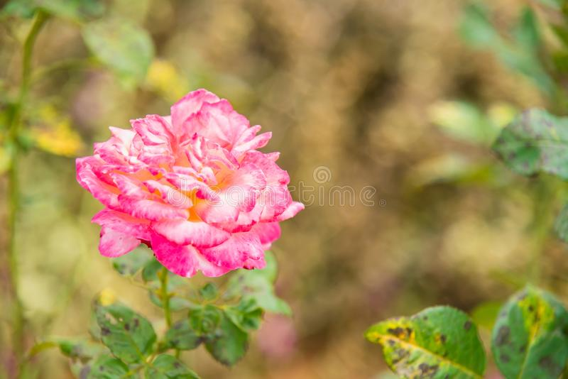 Pink and White Rose Close Up stock photos