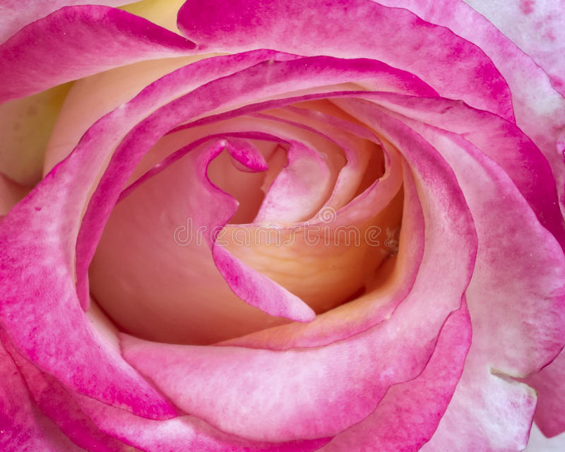 Pink And White  Rose Closeup Stock Image