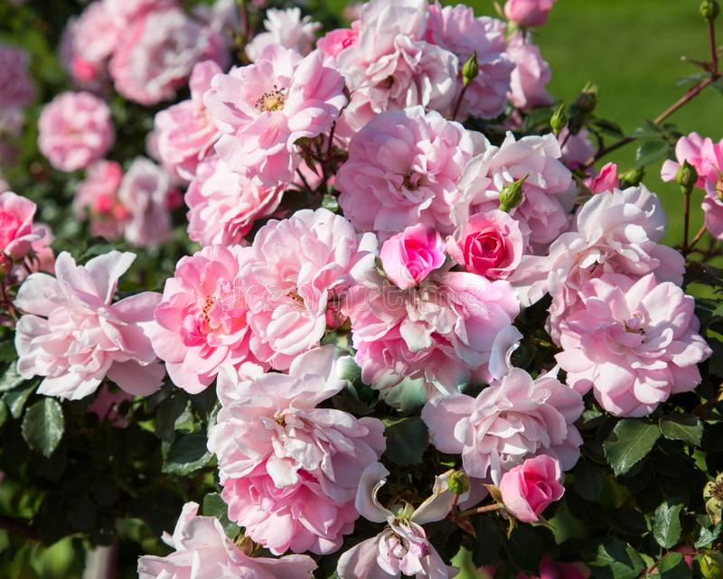 Pink white rose flowers outdoors in Sunny weather. Selective focus. Agriculture Floriculture royalty free stock images