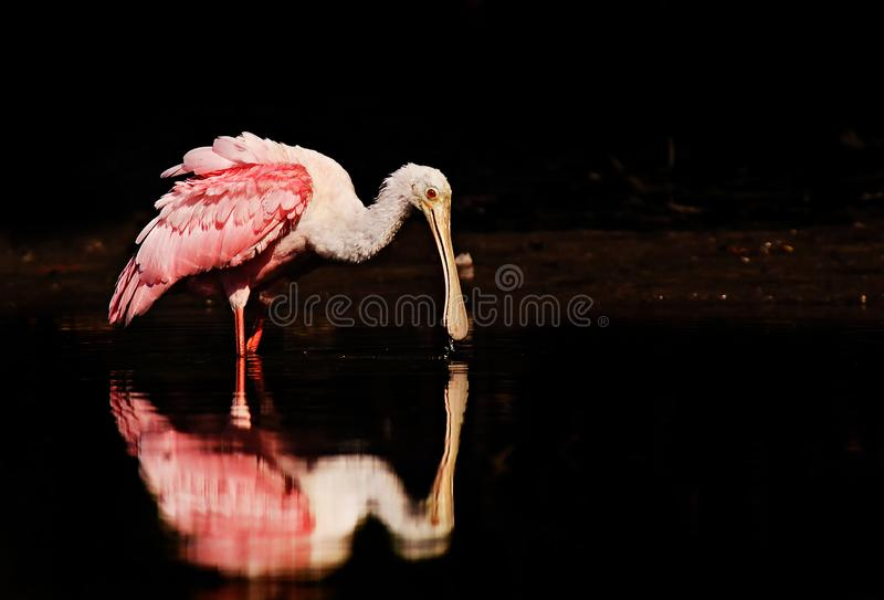 A roseate spoonbill feeding in calm water. A pink and white roseate spoonbill Platalea ajaja feeds in calm water with reflection royalty free stock photos