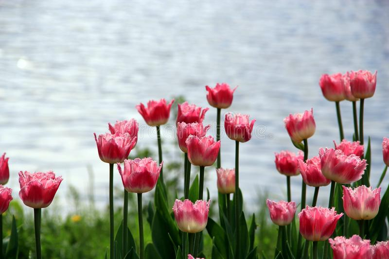 Pink shaggy tulips stock images