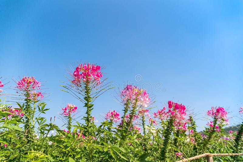 Pink and white spider flower agent blue sky stock photo image of download pink and white spider flower agent blue sky stock photo image of field mightylinksfo