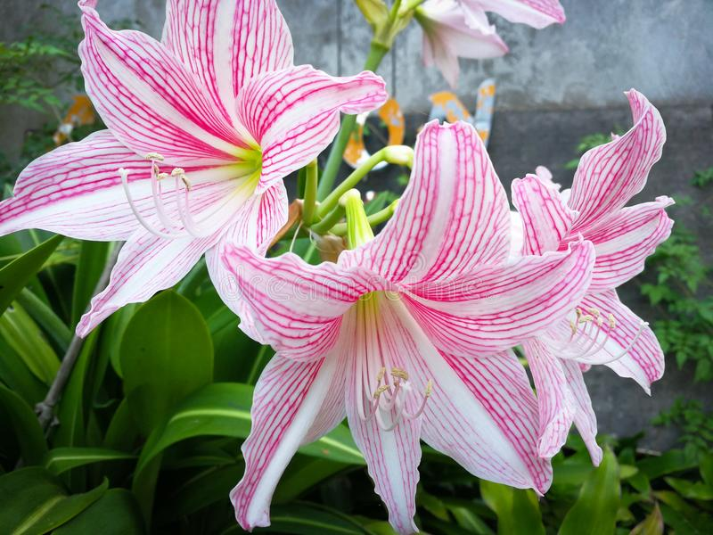 Star lily flower. Pink and White Star Lily flowe Hippeastrum reticulatum Amaryllidaceae royalty free stock image
