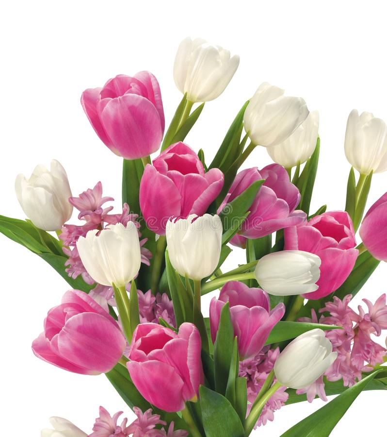 Pink and white Tulips on white stock photo