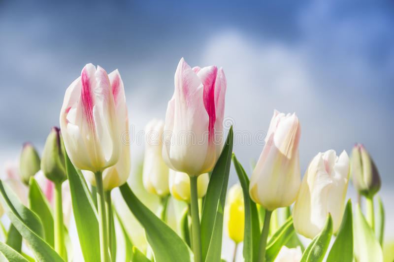 Pink white tulips on background overcast spring sky. In garden stock photos
