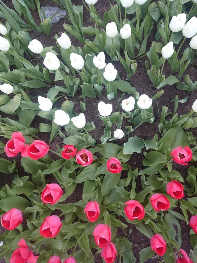 Pink and white tulips royalty free stock photo