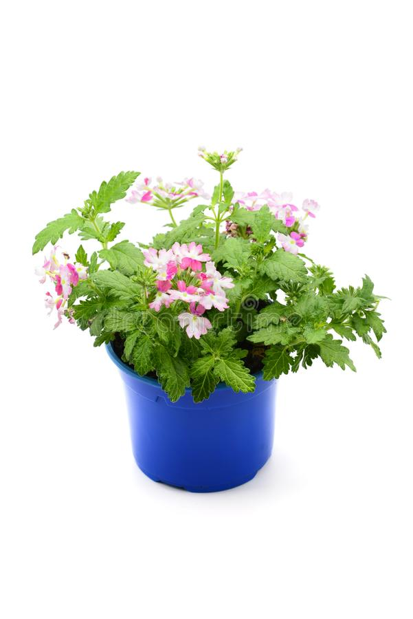 Pink white Verbena flowerpot on isolated white background.  gardening plant stock image