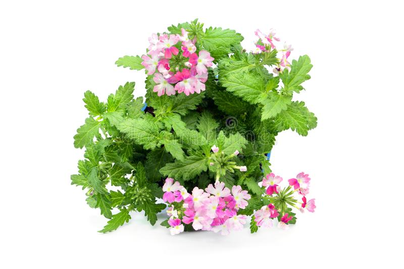 Pink white Verbena flowerpot on isolated white background. top view stock image